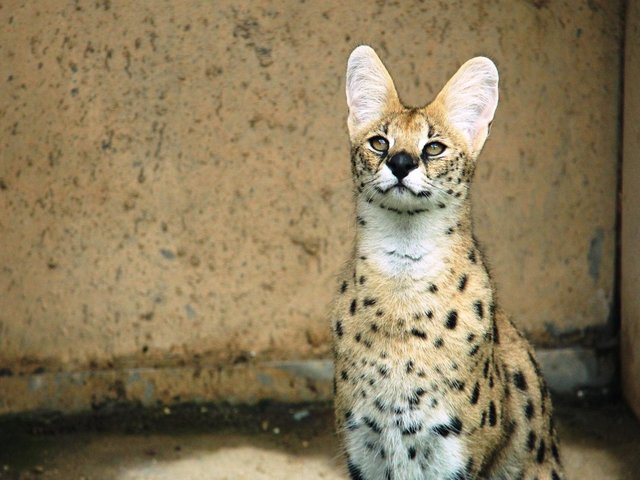 A Serval cat (Picture by Pixabay)